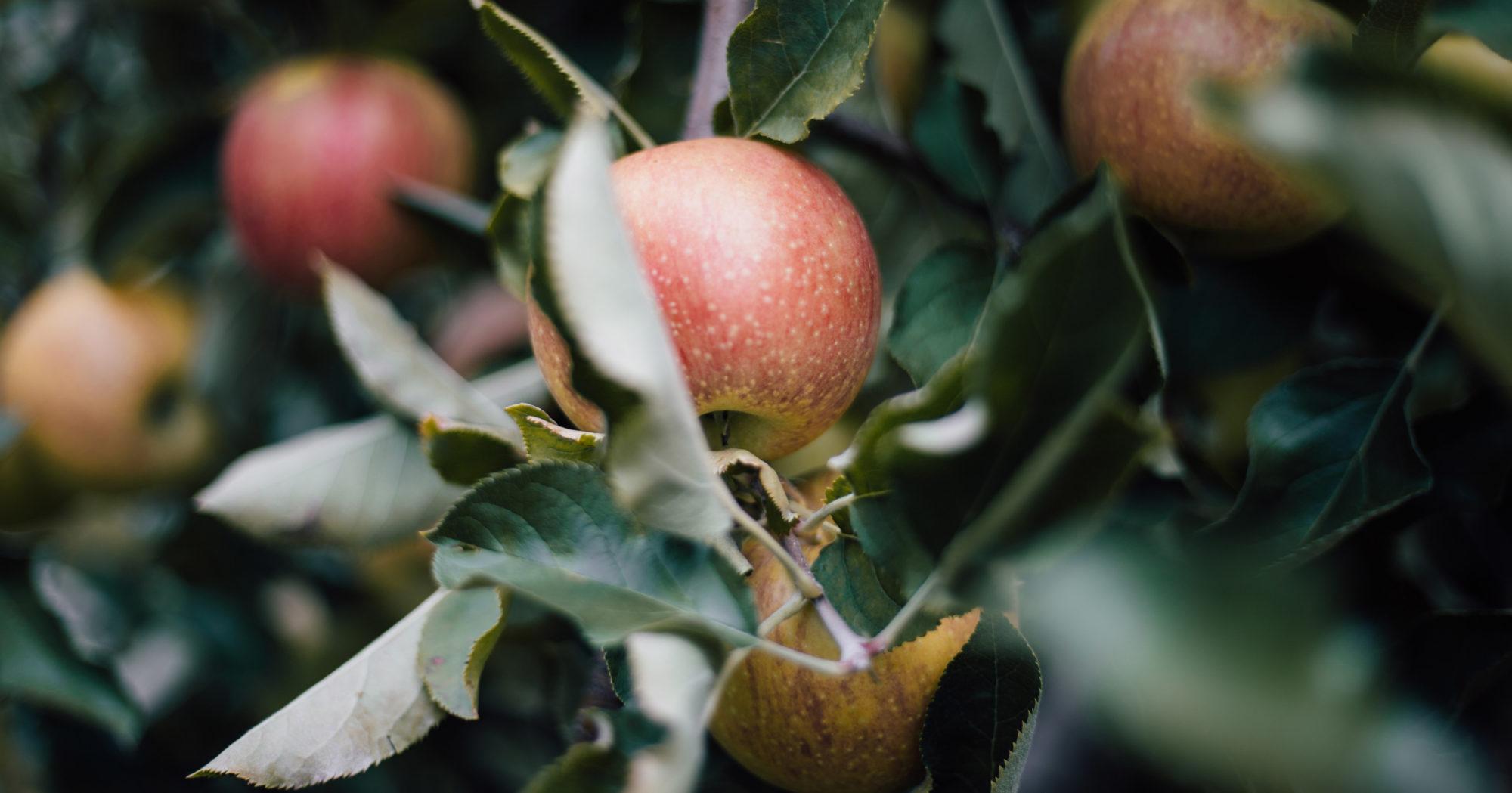 growing_apples