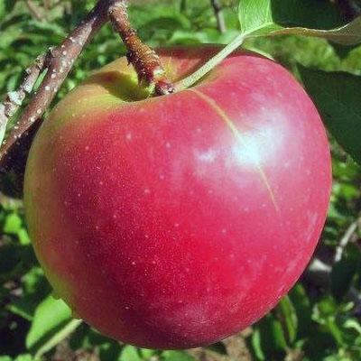 Brock Apple