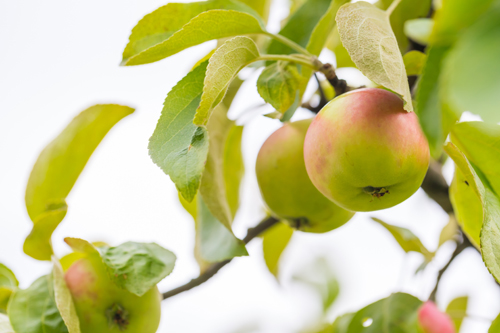 Photo of young green apples, fruits on the branches of apple trees