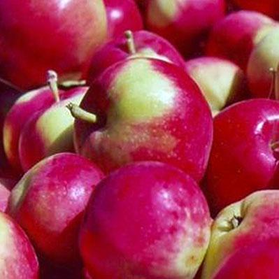 Jersey Mac Apple
