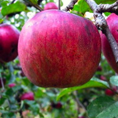 Nodhead Apple