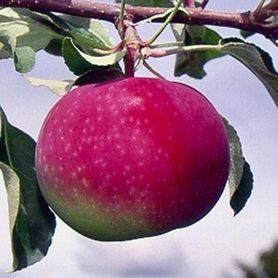 Paulared Apple