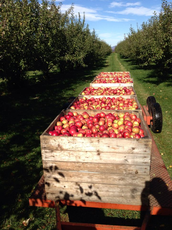 greenwood-orchards-apples