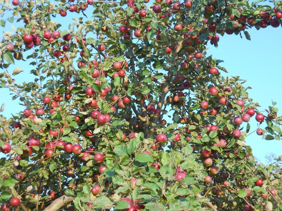 kents_hill_orchard_apple_tree