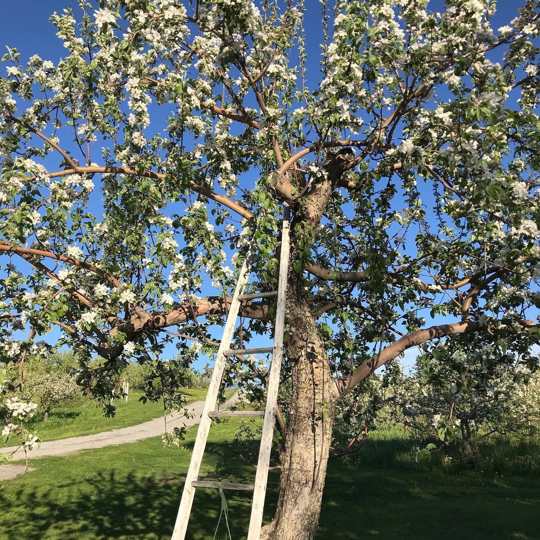 ricker-hill-orchards-tree