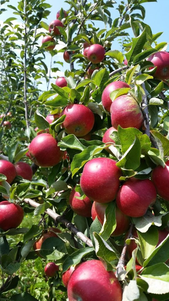treworgy-orchards-apples